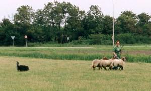 Dayka drijft de schapen